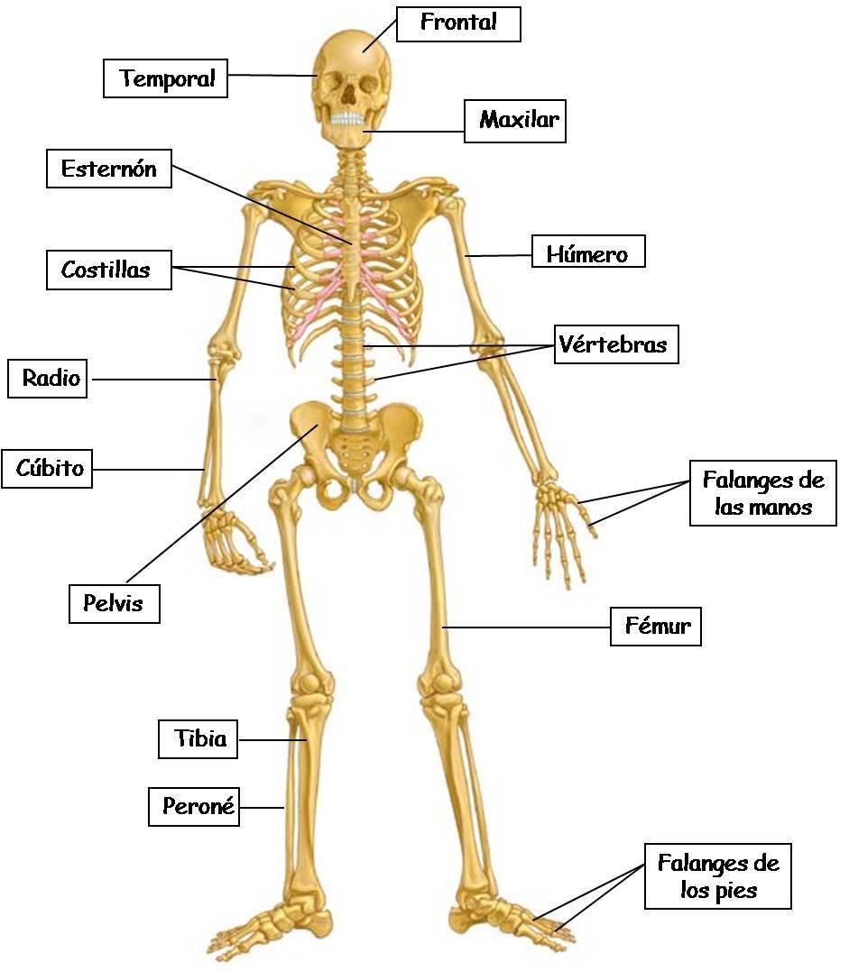 El Cuerpo Humano: Los huesos